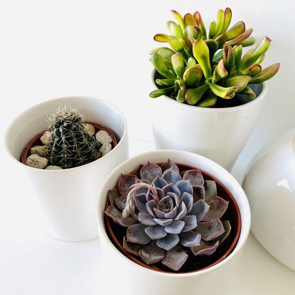 Succulents Trio in White Pots